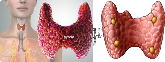 Thyroid & Parathyroid gland