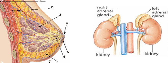 Breast and Adrenal gland Surgery